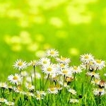 http://www.cheltenham.gov.uk/cbh/images/1148728_daisy_field.jpg