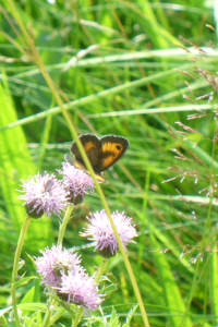 butterfly on a pale purple flower amongst long grass