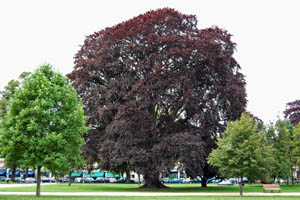 Large copper beech tree in Montpellier Gardens