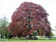 Large copper beech tree standing in one of Cheltenham's parks