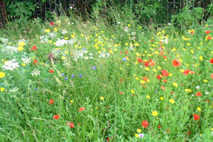 mass of grass and wild flowers including poppies, daisies and cornflowers