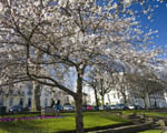 blossom covered tree on a grassy bank in front of white regency buildings