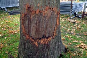 Tree damage caused by dogs