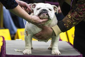 bulldog in dog show