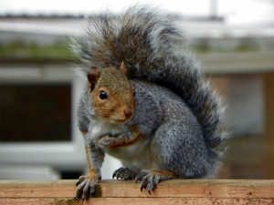 Grey squirrel with red-brown face and white underbelly