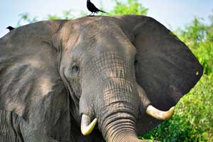 African elephant with a bird on its head