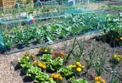 Flowers and vegetables in an allotment plot