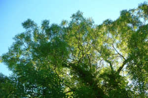 A picture of a large ash tree with blue sky behind