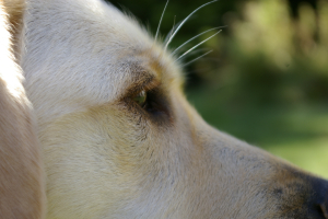 close up of a dog's face, side on