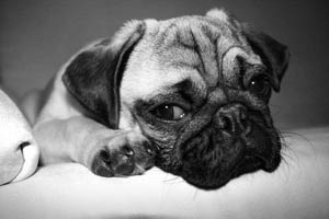 Sad looking dog with its chin resting on its paws