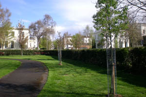 young trees planted in a park between the path and the boundary hedge