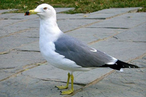 a grey and white gull with yellow legs and feet and a yellow beak tipped with black and red