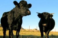 Two black dexter cows in a field with blue sky