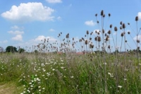 Tall grass and spiky teasels, blue sky and fluffy white coulds