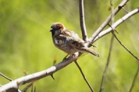A molting house sparrow sat on a branch of a tree with a green background